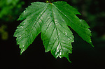 ADFTP9 Leaf  sycamore tree with sticky sap