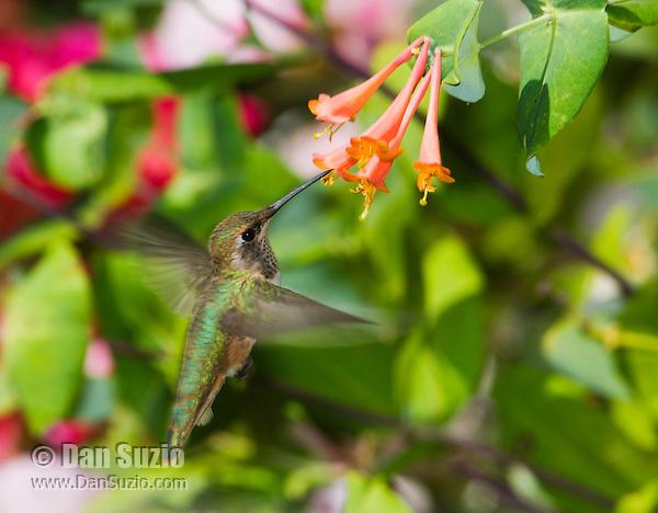 Allen's hummingbird, Selasphorus sasin, at honeysuckle flowers, Lonicera sp. Santa Cruz Mountains, California