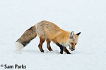 Red fox caching food. Grand Teton National Park, Wyoming.