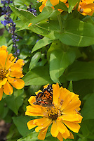 Butterfly on Annual yellow zinnia in summer bloom