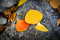 Fallen aspen leaves of different colors adorn the ground and rocks in the Convict Lake area