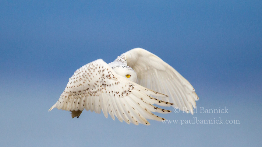A Snowy Owl,Bubo scandiacus, lifts her body nearly straight up off driftwood and into the air after spotting a vole in the grass nearby.  During these stiff wing beats the owl keeps looking forward and sometimes the eyes appear through the wings, although one never sees this unless that action is stopped with a fast shutter speed. When the owls hunted from high perches they flew forward but when they hunted from low perches they offen used strong wingbeats to rise up quickly. (Washington)
