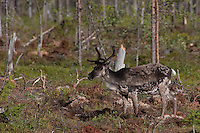 Rentier, Ren, Rangifer tarandus, reindeer, Skandinavien