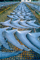 sun-drying shark fins - caudal fins of blue shark, Prionace glauca, shark fin factory at Kesennuma, the most famous town for Japanese shark fin production, Miyagi prefecture, Japan
