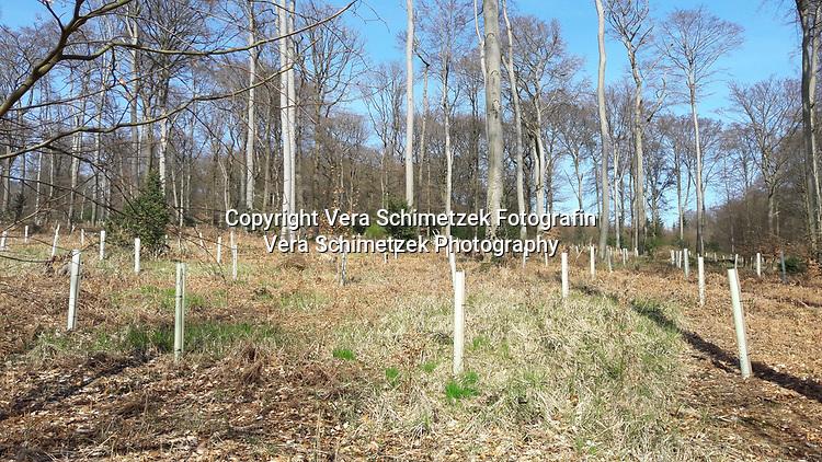 Europe, Germany, Ruhr Area, Ardey, Wetter, Herdecke, ehemaliger Buchenwald, Wiederaufforstung mit Eiche<br /> <br /> Europa, Deutschland, Ruhrgebiet, Ardey, Wetter, Herdecke, past beech forest, reforestation with oak trees<br /> <br /> [MODEL RELEASE: NO, Copyright: Vera Schimetzek, Bornstrasse 5, 58300 Wetter, Germany, phone: 0049.2335.970650, mobil: 0049.151.21220918, www.schimetzek-foto.de, schimetzek@web.de,<br /> Die Verwendung des Fotos ist honorarpflichtig. Keine Verwendung ohne Genehmigung.  Es gelten die AGB.<br /> For use the general terms and conditions are mandatory. No use without permission. The use of the image is subject to a fee.]