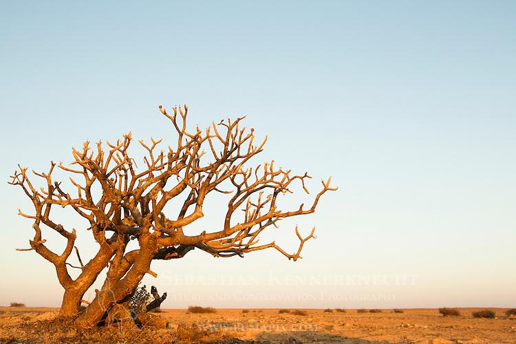 Desert Rose (Adenium obesum) in desert, Dhofar Mountains, Oman