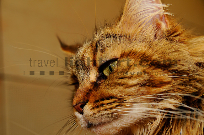 ©Paul Trummer, Mauren / FL, www.travel-lightart.com, www.digital-photos.eu, animal, animalia, animals, cat, catkins, cats, domestic cat, domestic cats, felis catus, living being, mammal, mammals, pet cat, pet cats, predator, predators, vertebrate, vertebrates, warm blooded animals, warm blooded-animal, Fauna, Felis, Fissipedia, Hauskatze, Hauskatzen, Kater, Landraubtier, Landraubtiere, Lebewesen, Mammalia, Rassekatze, Säuger, Säugetier, Säugetiere, Tierbild, Tierbilder, Vertebrata, Warmblüter, Wirbeltier, Wirbeltiere, Haustier, Haustiere, Domestic Animals, Maine Coon, Maine Coon Katze, Maine Coon Cat