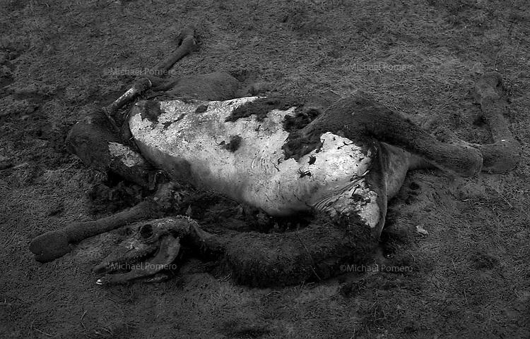 11.2010 Pushkar (Rajasthan)<br /> <br /> Young camel death due to big rain and cold.<br /> <br /> Jeune chameau mort a cause d'une grande pluie et du froid.