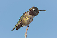 Anna's Hummingbird (Calypte anna) - Male perching on a twig