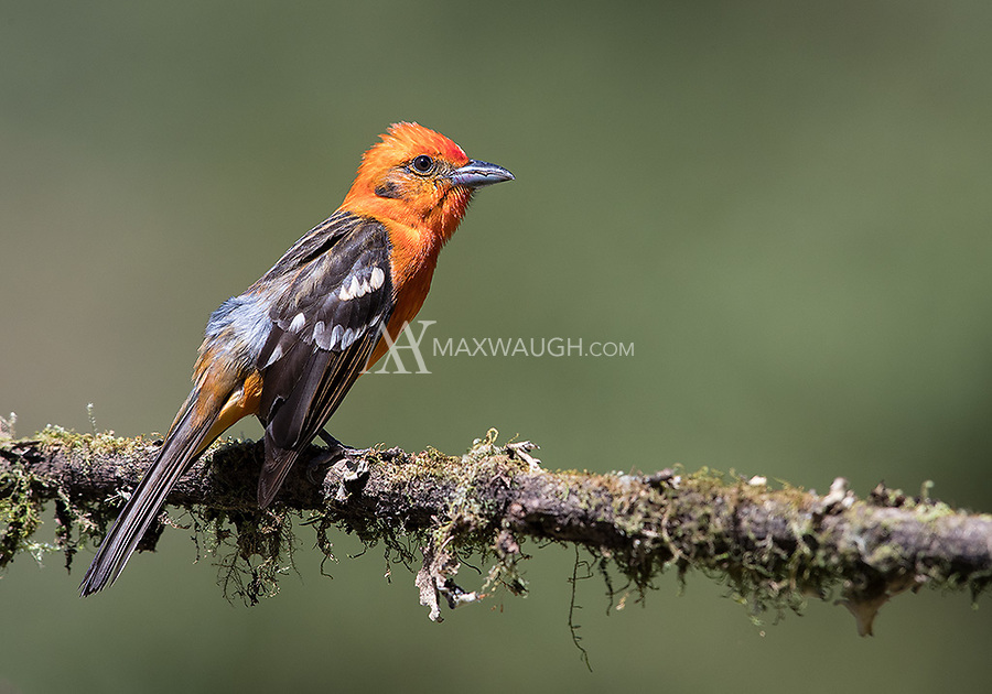 We usually see this colorful bird during visits to Costa Rica's central highlands.