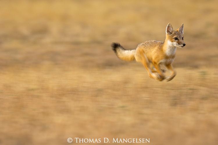 Swift Fox running across the prairie.