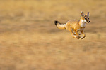 Swift Fox running across the prairie.
