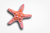 Chocolate Chip Sea Star or Starfish skeleton, Protoreaster nodosus