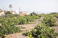 Vineyards outside the town of Megalochori in Santorini, Greece on July 7, 2013.