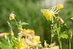 A yellow columbine offers a burst of yellow in the spring garden.