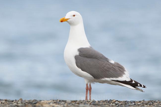 Vega Gull (Larus vegae) .Chukotka, Russia. June.