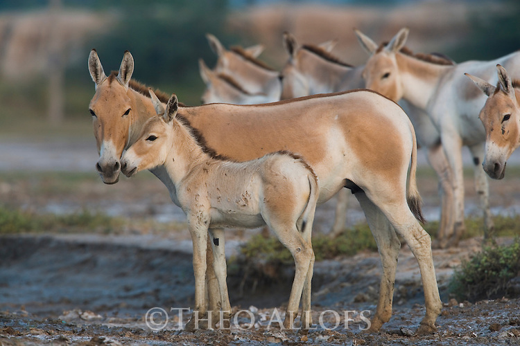 Small group of Indian wild asses with foal (Equus hemionus khur) in clay pan, dry season<br /> The Indian wild ass's range once extended from western India, through Sind and Baluchistan, Afghanistan, and south-eastern Iran. Today, its last refuge lies in the little Rann of Kutch and its surrounding areas of the Greater Rann of Kutch in the Gujarat province.