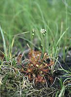 GREAT SUNDEW Drosera anglica (Droseraceae) Height to 30cm. Insectivorous plant of waterlogged peat bogs and moors. FLOWERS are white; borne in spikes on stalks that twice the length of the leaves (Jun-Aug). FRUITS are capsules. LEAVES are reddish, narrow, tapering and 3cm long; covered in sticky hairs and appear as a basal rosette. STATUS-Locally common in N and W, but generally scarce elsewhere.