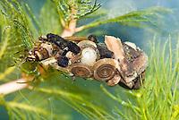 Kokerjuffer larve