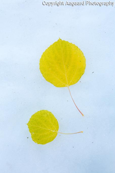 Fallen aspen leaves, Glacier Gorge, Rocky Mountain National Park