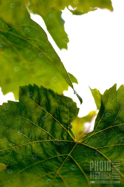 Grape Leaves Detail