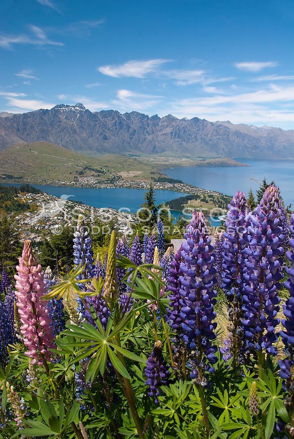 Purple and Pink lupins at the summit of Skyline Gondola, looking out to the Remarkables, Lake Wakatipu and Queenstown