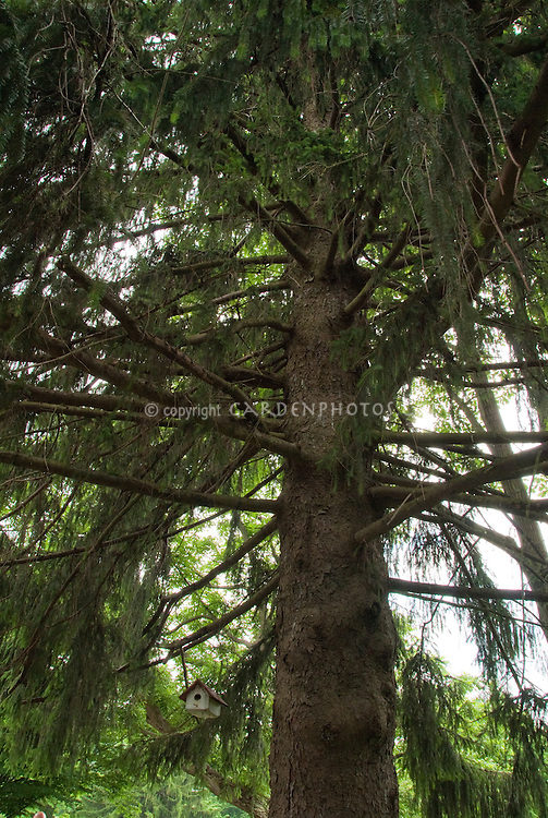 Looking up into a large evergreen conifer tree, with small birdhouse, showing enormity of life and vastness