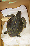 Green Turtle In Banana Box Awaiting Transport