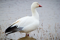 Snow Geese at Bosque Del Apache National Wildlife Refuge in New Mexico.