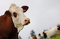 28/09/07 - MARGERIDE - HAUTE LOIRE - FRANCE - Vaches laitieres MONTBELIARDES - Photo Jerome CHABANNE