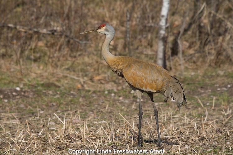 Sandhill Crane - Adult