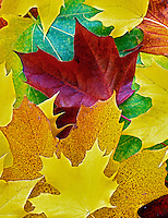 Fall colored Big Leaf Maple leaves from same tree. Near Alpine, Oregon