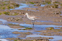Bar-Tailed Godwit, Cairns oceanfront, Queensland, Australia