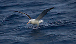 Diomedea epomophora Royal  Albatross, Southern Ocean.  The albatrosses fly thousands of miles across the oceans To do this, they can lock their wings and place, and glide, rather than fly. And their heart rate is barely above resting when gliding. The birds rarely land - only when there's no wind. This invdividual is landing on the Southern Ocean...