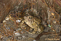 0602-0911  Fowler's Toad, Anaxyrus fowleri [syn: Bufo fowleri (Bufo woodhousii fowleri)]  © David Kuhn/Dwight Kuhn Photography