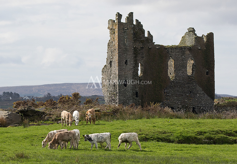 Cows and castles... typical Ireland.