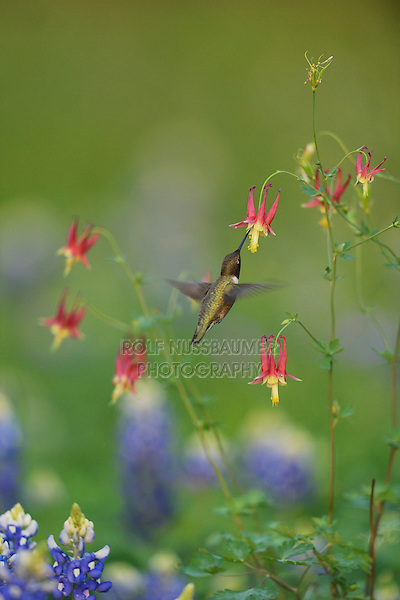 Black-chinned Hummingbird (Archilochus alexandri), adult male feeding on blooming Red Columbine (Aquilegia canadensis) among Texas Bluebonnet (Lupinus texensis), Hill Country, Texas, USA