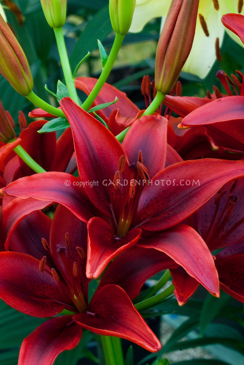 stock images of lilies lilium lily flowers  images  plant, Beautiful flower