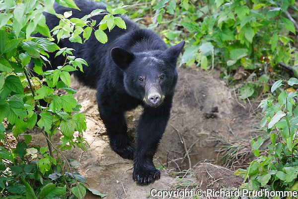 a bear walking in the forest