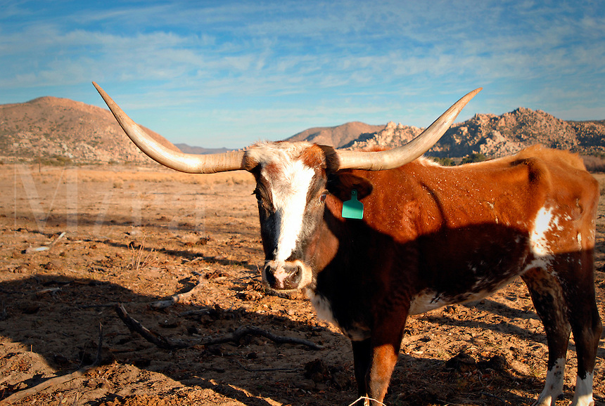 Longhorn cow on desert ranch in town of Boulevard, San Diego County, Southern California.