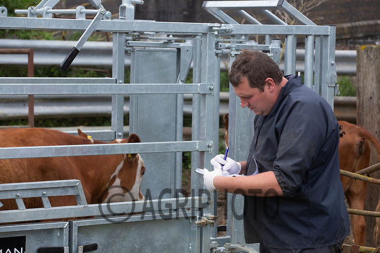 19.6.2020 A vet reading TB tests on a beef herd <br /> ©Tim Scrivener Photographer 07850 303986<br />      ....Covering Agriculture In The UK.