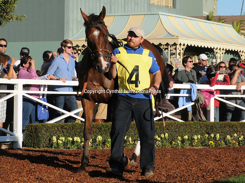 December 26, 2011.Heart Fever in the paddock before the California Breeders' Champion Stakes at Santa Anita Park, Arcadia, CA