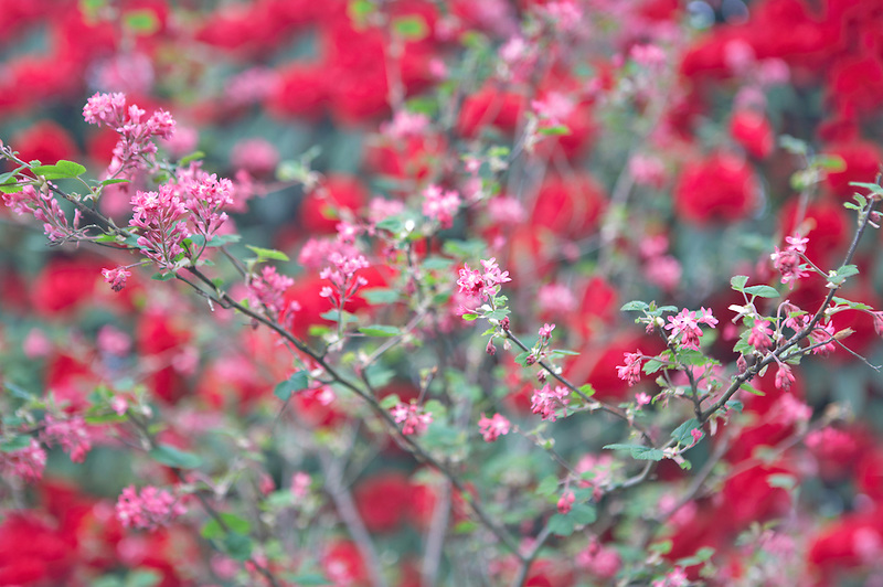 Currant blossoms with red rhododendron blossoms. Crystal Springs Rhododendron Garden. Oregon