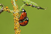 Seven-spotted Ladybug (Coccinella septempunctata), pair mating and eating Aphids (Aphidoidea), Sinton, Corpus Christi, Coastal Bend, Texas, USA
