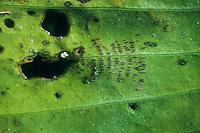 Hufeisen-Azurjungfer, Hufeisenazurjungfer, Azurjungfer, Coenagrion puella, Azure Damselfly, Eiablage, Einstiche des Legebohrers auf einem Blatt, Eier, Ei