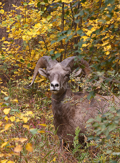 Bighorn Sheep Ram standing in fall colored foliage in western montana