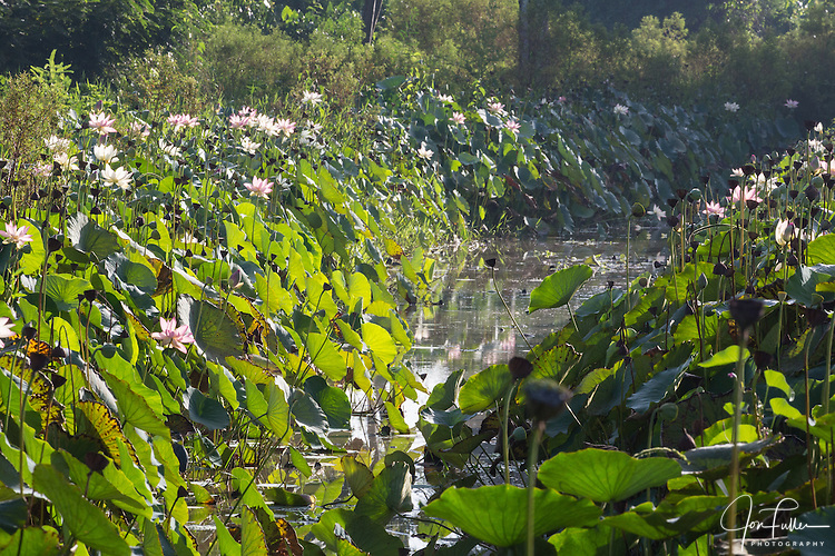 Blossoming lotus plants, Nelumbo nucifera, line this small waterway in the Georgetown Botanical Gardens in Georgetown, Guyana.  The lotus flower comes originally from India and is considered sacred to the Hindus and Buddhists.