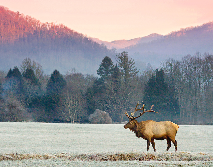 """SUNRISE ELK"" -- A large bull elk standing in front of the Great Smoky Moutains near the Oconaluftee Visitor Center just outside of Cherokee, North Carolina."