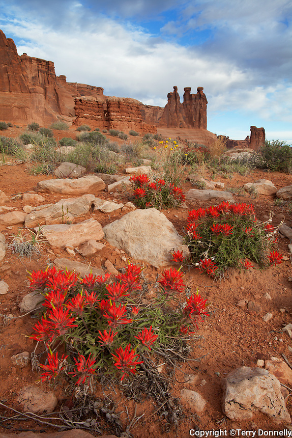 Arches National Park, UT <br /> Red paintbrush (Castilleja chromosa) blooming in the foreground with the Three Gossips and Courthouse Towers in the distance.