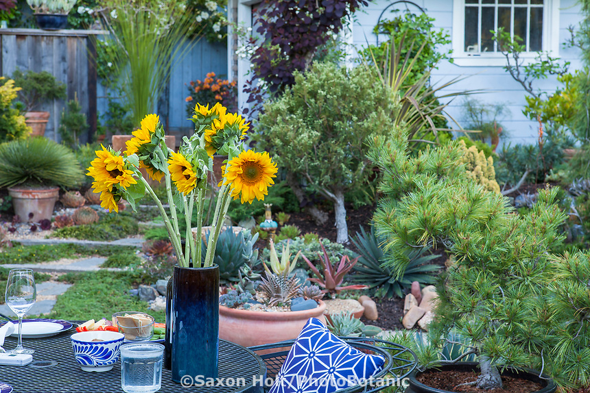 Vase of sunflowers on backyard patio table, California plant collector garden - Carol Brant